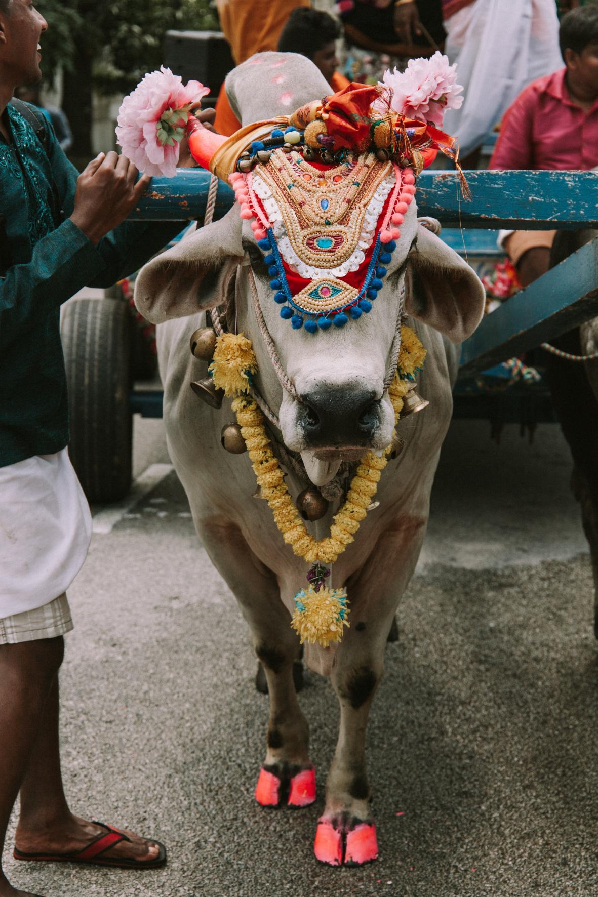 Das Töten einer Kuh gilt im Hinduismus als Sakrileg, sie gilt als heiligste Tiergottheit, Foto: Pixabay